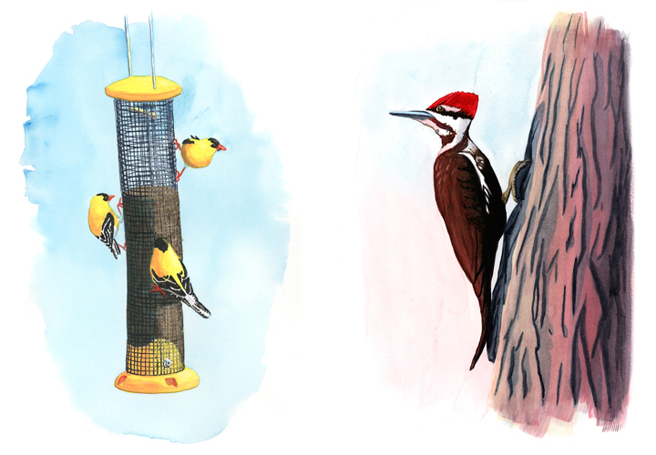 Goldfinches & Pileated Woodpecker